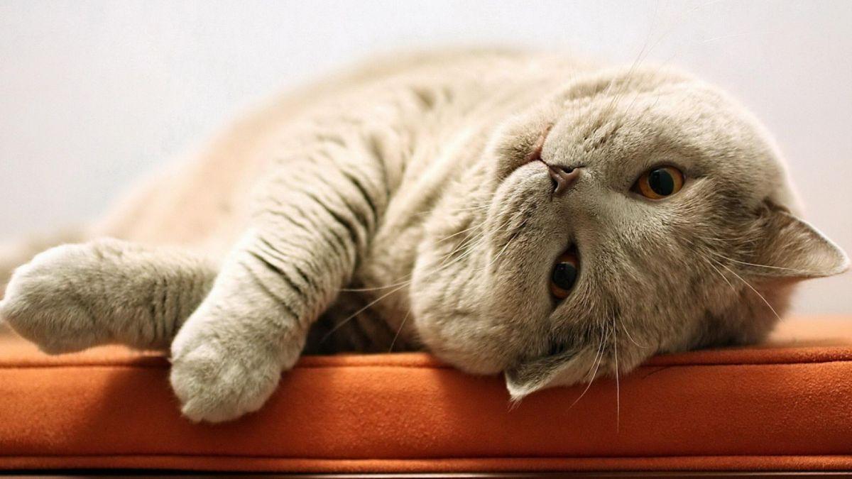 ленивый-кот-4